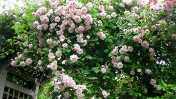 Plantas adecuadas para pérgolas - Bignonia rosa