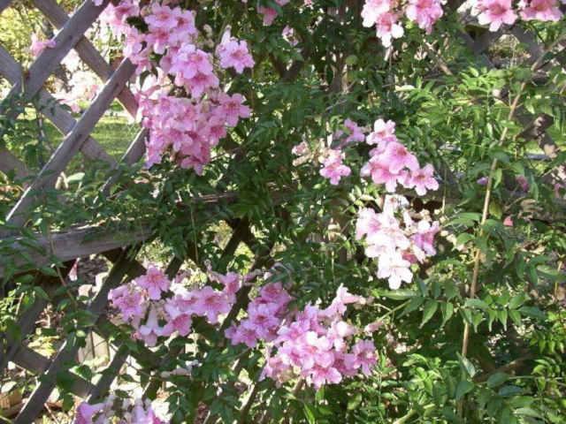 Bignonia rosa flores