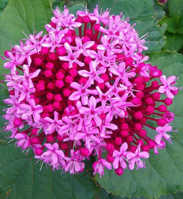 Plantas adecuadas para pérgolas - Clerodendrum