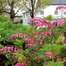 Flores de la dicentra