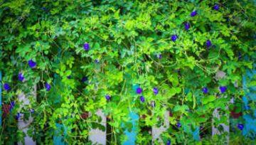 Plantas adecuadas para pergolas - Clitoria ternatea