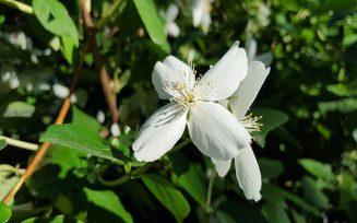 Plantas adecuadas para pergolas - jazmín