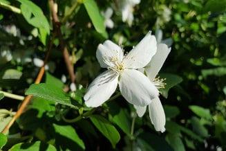 Plantas adecuadas para pérgolas - jazmin