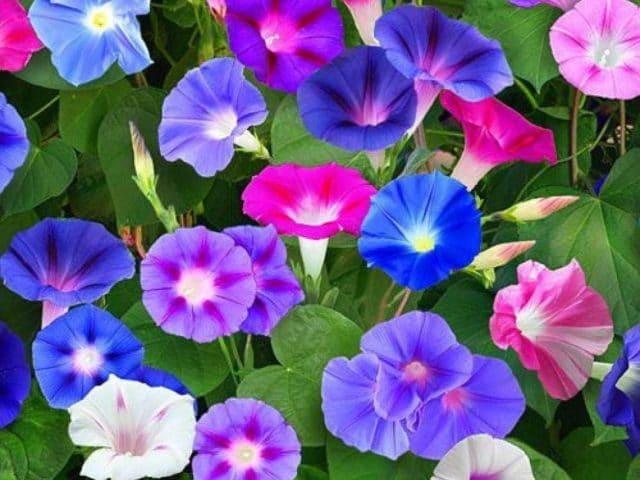 Planta-Morning-Glory