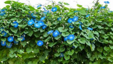 Plantas adecuadas para pérgolas - Morning Glory