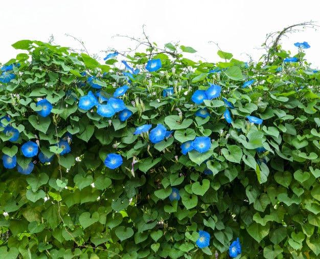 Planta trepadora Morning Glory
