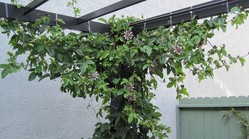 Plantas adecuadas para pérgolas Passiflora planta